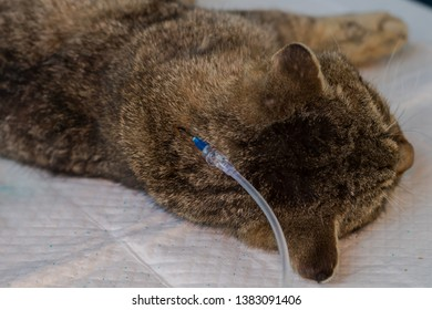 hydration of a cat by giving  subcutaneous fluids