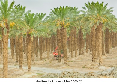 hydraulic hoist for cutting leaves plantation of date palms in the desert of the Negev of Israel
