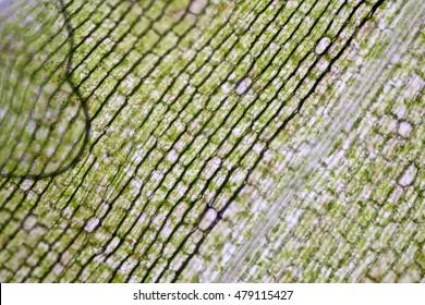 Hydrilla verticillata Tissue under the microscope