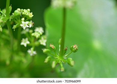 Hydrocotyle umbellata L. (Water Pennywort, manyflower,  marshpennywort or dollarweed) Showing a long stem and bunch of small flowers with 5 sepals, 5 petals. Both weed & vegetables. unique aroma.