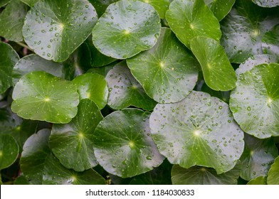 Hydrocotyle umbellata or Many Flower Marsh Pennywort , Dollarweed with water drops in garden. selective focus