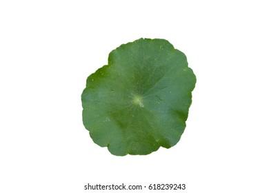 Hydrocotyle umbellata , Water Pennywort,  Kaempferia rotunda, Kaempferia longa Jacq., Kaempferia versicolor Salisb., Zerumbet zeylanica Garsault
