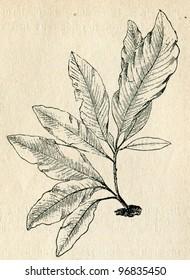 Hydrolapathum sanguineum (Delesseria sanguinea) old illustration by unknown artist from Budowa i Zycie rosliny, author Wladyslaw Kozlowski,  M.Arcta, Warsaw, 1908 - Shutterstock ID 96835450