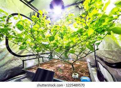 Hydroponic apparatus is being used to grow a large chilli plant inside a gardening tent with the assistance of an artifical substrate with added nutrients and specialist lighting.