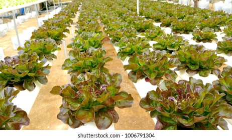 Hydroponic farm, growing lettuce and other vegetables in Cameron Highlands, Malaysia