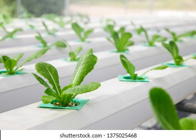 Hydroponic lettuces in hydroponic pipe. Hydroponics method of growing plants using mineral nutrient solutions, in water, without soil. Close up planting hand Hydroponics plant