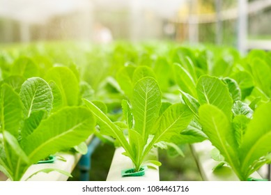 Hydroponic lettuces in hydroponic pipe. Hydroponic vegetable farm.