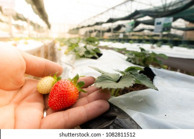 Hydroponic strawberry farm. Hydroponics method of growing plants, in water, without soil. Hydroponic lettuces in hydroponic pipe