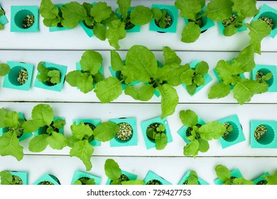 Hydroponic vegetable age 17-20 days plant with perlite  move to vegetables rails top view