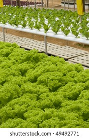 Hydroponic vegetable in an Asian country