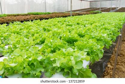 Hydroponic vegetable in farm.
