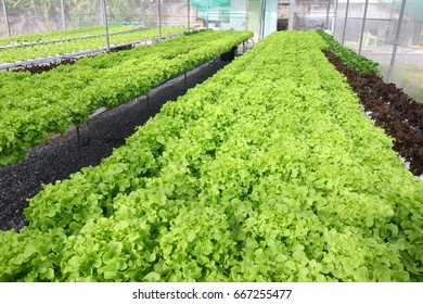 Hydroponic vegetable farm in low cost green house.