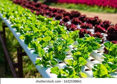 Hydroponic vegetable farm, Organic hydroponic vegetable cultivation farm.