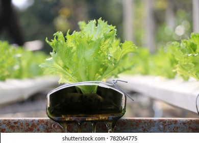 Hydroponic Vegetable Gardening with water