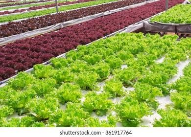 Hydroponic vegetable plantation system.