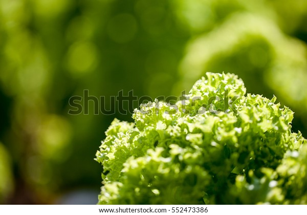 hydroponic Vegetables, close up