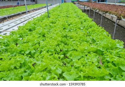 Hydroponic vegetables farm in Thailand