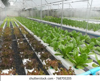Hydroponic vegetables nursing table with mist spraying heads lowering down temperature.