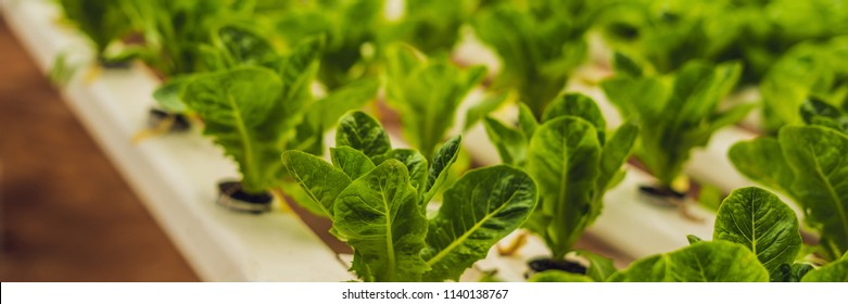 Hydroponic vegetables salad farm. Hydroponics method of growing plants vegetables salad farm, in water, without soil. Hydroponic lettuces in hydroponic pipe. BANNER long format