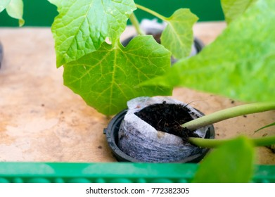 Hydroponically growing a bean plant in a coco coir filled net pot. This is a revolution in farming that makes producing green organic crops easy