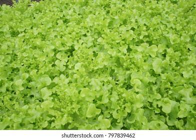 Hydroponics Cos lettuce