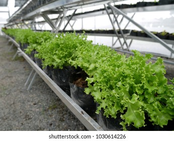 The hydroponics farm with green plants for healthy salad. Fresh vegetable in the organic farm.