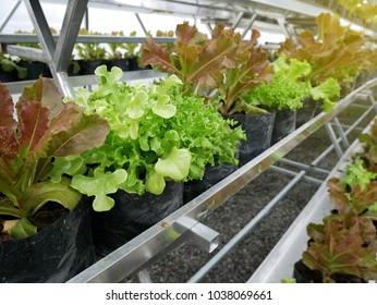 The hydroponics farm with green plants for healthy salad in farm.