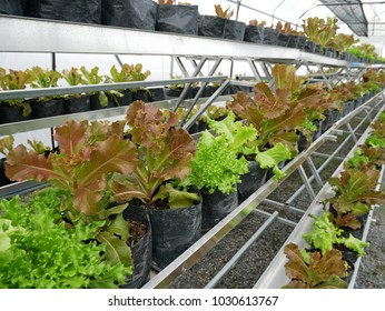 The hydroponics farm for healthy salad in the black bags on stair. Fresh vegetable at organic farm.