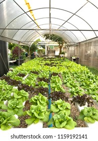 Hydroponics farm, Organic fresh harvested at greenhouse, hydroponic green vegetable for healthy market.
