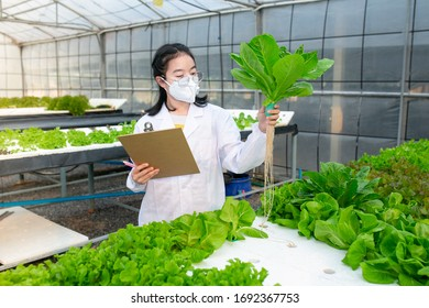 Hydroponics farm, Scientist or Worker testing and collect data from lettuce organic hydroponic. Fresh vegetable at greenhouse farm garden.