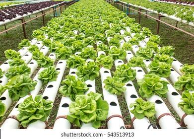 Hydroponics green vegetable garden