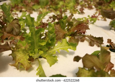 Hydroponics grown butter leaf lettuce in greenhouse