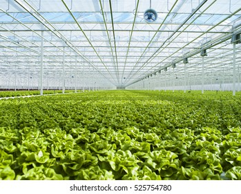 hydroponics lettuce automated in modern greenhouses
