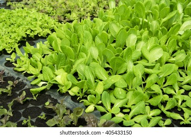Hydroponics lettuce vegetable sprout in plastic cup