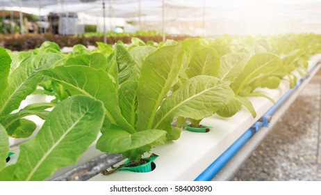 Hydroponics method of growing plants using mineral nutrient solutions, in water, without soil. Close up of Hydroponics plant.