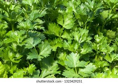 Hydroponics organic celery growing
