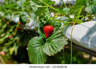 Hydroponics row in plantation. Indoor strawberries farm. Substrate cultivation of strawberries under plastic film on the pickers ergonomic height. Smart agriculture, farm, technology concept.