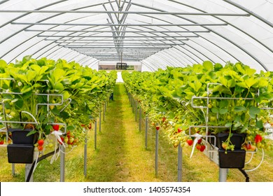 Hydroponics Strawberry in greenhouse with high technology farming. Agricultural Greenhous with hydroponic shelving system