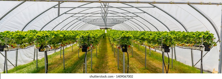 Hydroponics Strawberry in greenhouse with high technology farming. Agricultural Greenhous with hydroponic shelving system, banner