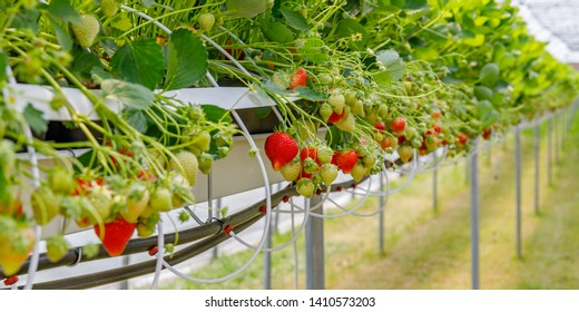 Hydroponics Strawberry in greenhouse with high technology farming. Agricultural Greenhous with hydroponic shelving system. Selective focus