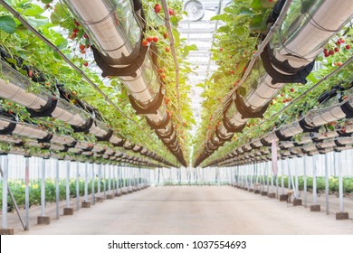 the hydroponics strawberry house with high technology farming in close system