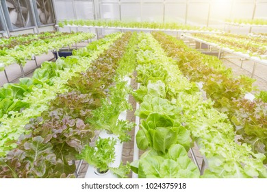 Hydroponics system greenhouse and organic vegetables salad in hydroponics farm for health, food and agriculture concept design.