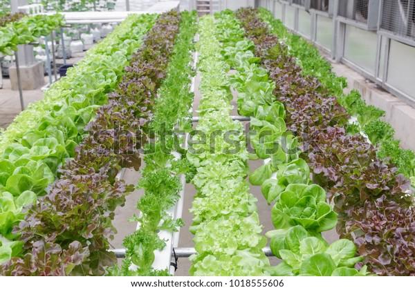 Hydroponics System Greenhouse Organic Vegetables Salad Stock