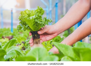 Hydroponics vegetable farm, Farmer harvest hydroponics vegetable in farms morning, Thailand.