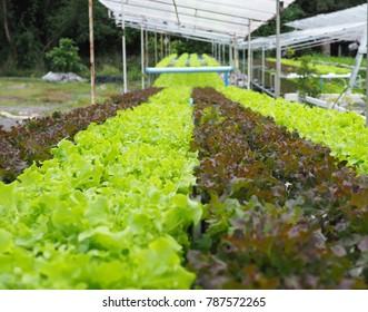 Hydroponics vegetable farm. Fresh hydroponics vegetable farm