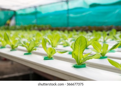 Hydroponics vegetable growing in the nursery