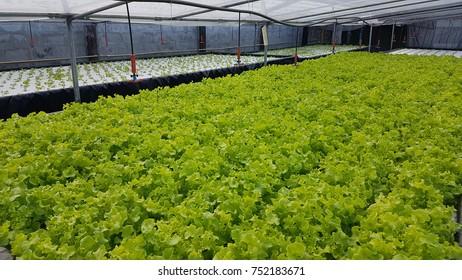 Hydroponics Vegetable Salad