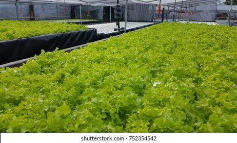 Hydroponics Vegetable Salad.