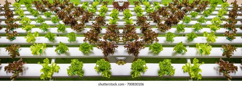 Hydroponics vegetables