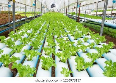 Hydroponics,Organic fresh harvested vegetables